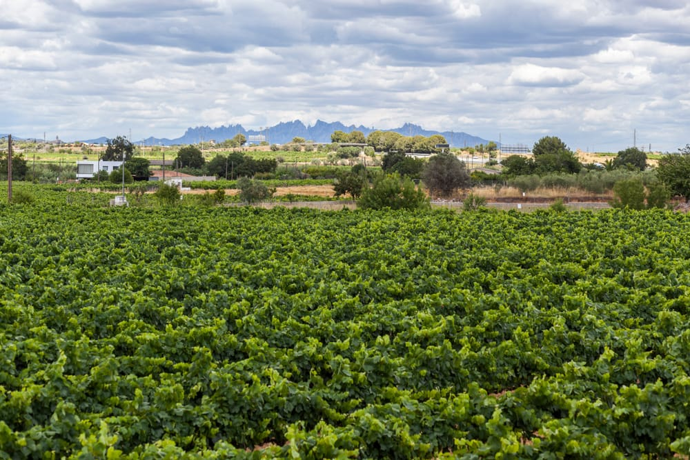 Вид на Монсеррат и виноградники