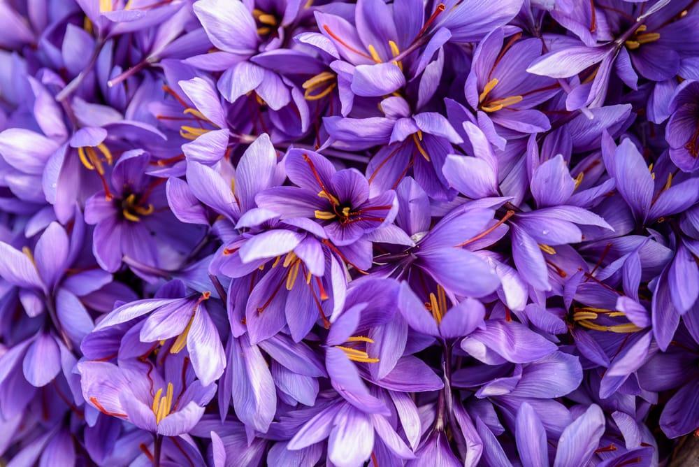 Цветки шафрана