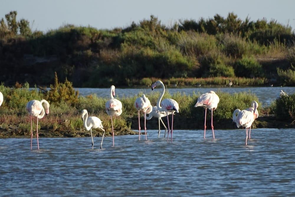 Розовые фламинго в Дельта Эбро